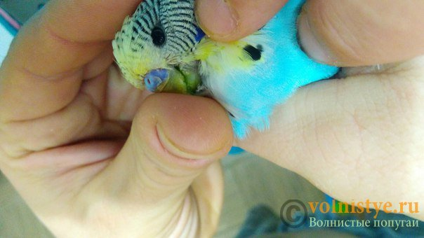 Подскажите, у попугая клещ? - 2 - G6NsUxcjniA.jpg