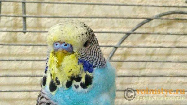 Подскажите, у попугая клещ? - 2 - BSIHugvQ6_0.jpg