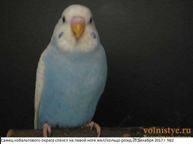 Волнистые молоденькие попугайчики для разговора - IMG_1067.JPG