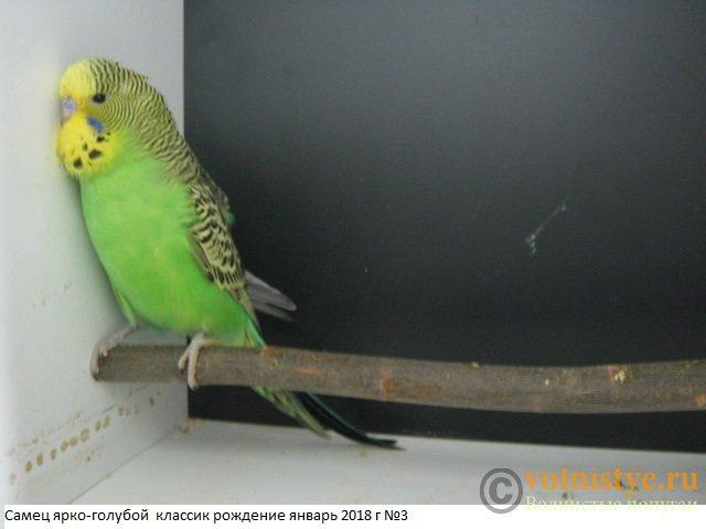 Волнистые попугаи выставочного типа молодежь Москва - IMG_1210.JPG