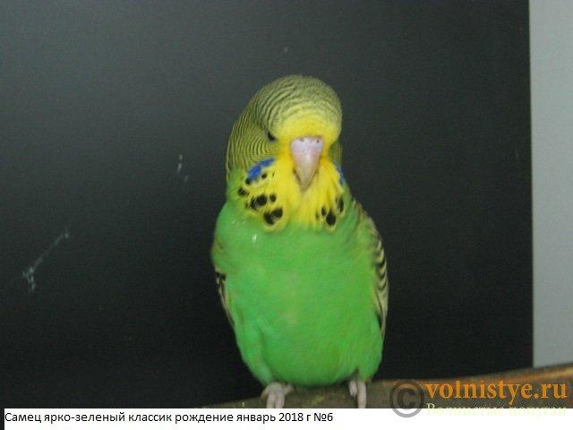 Волнистые попугаи выставочного типа молодежь Москва - IMG_1258.JPG