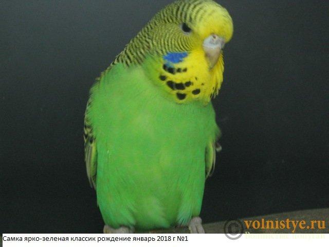 Волнистые попугаи выставочного типа молодежь Москва - IMG_1184.JPG
