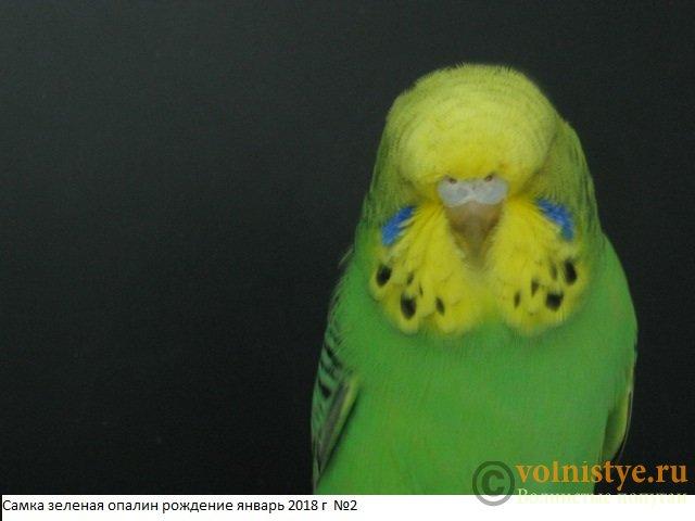 Волнистые попугаи выставочного типа молодежь Москва - IMG_1196.JPG