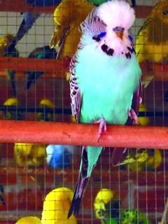 Виноградова Е. В. - Волнистые попугайчики - i_001.jpg