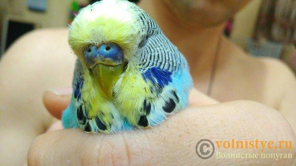 Подскажите, у попугая клещ? - 2 - f7wzsb2nDHw.jpg