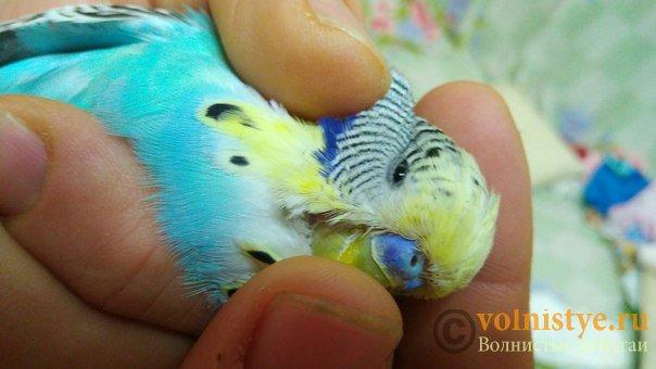 Подскажите, у попугая клещ? - 2 - el6l62ZxXfU.jpg