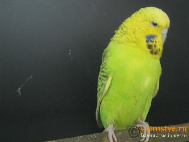 Волнистые попугаи выставочного типа молодежь Москва - IMG_1291.JPG