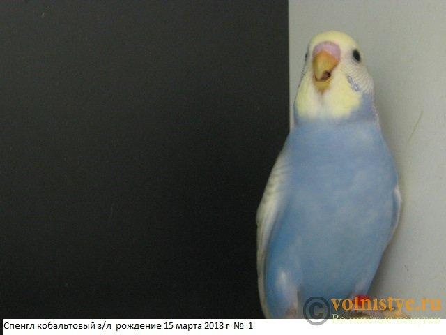 Волнистые молоденькие попугайчики для разговора - IMG_1323.JPG