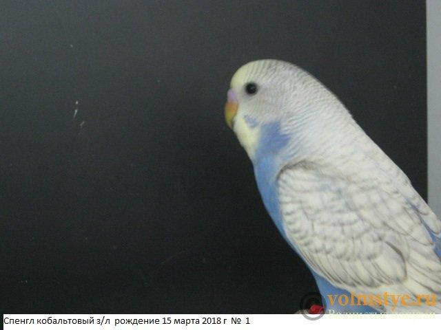 Волнистые молоденькие попугайчики для разговора - IMG_1320.JPG