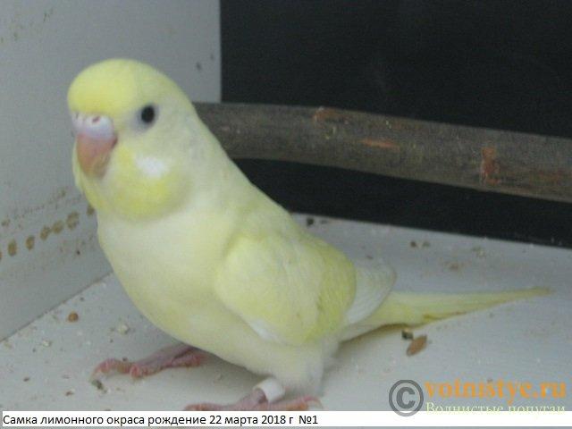 Волнистые молоденькие попугайчики для разговора - IMG_1329.JPG
