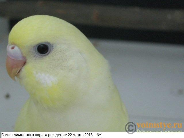 Волнистые молоденькие попугайчики для разговора - IMG_1335.JPG