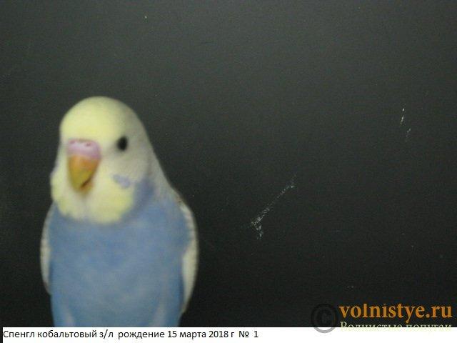 Волнистые молоденькие попугайчики для разговора - IMG_1324.JPG