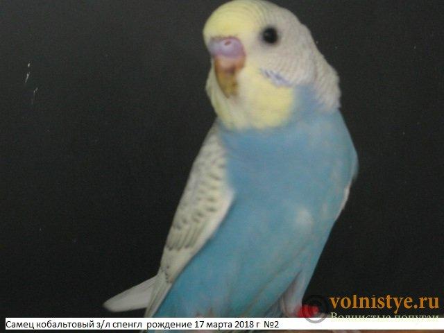 Волнистые молоденькие попугайчики для разговора - IMG_1343.JPG