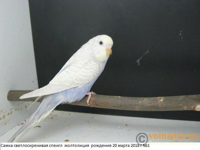Волнистые молоденькие попугайчики для разговора - IMG_1401.JPG