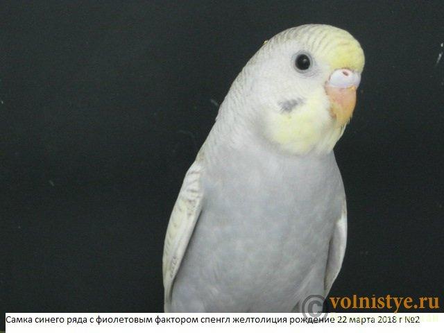 Волнистые молоденькие попугайчики для разговора - IMG_1418.JPG