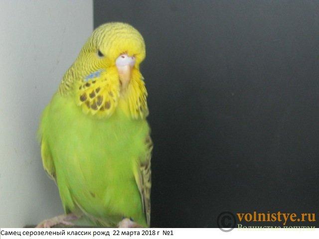 Волнистые попугаи выставочного типа молодежь Москва - IMG_1369.JPG