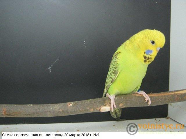 Волнистые попугаи выставочного типа молодежь Москва - IMG_1365.JPG