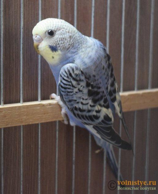Продаю птенцов волнистого попугая (от Джека и Эльзы) - DSC_5820.JPG