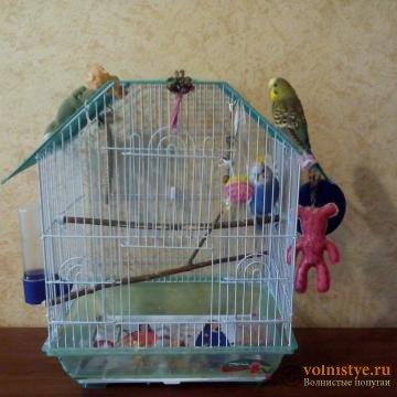 Какого окраса ваши попугаи и какого у них получились птенцы? - 5af6ccc59e94ba953326e0b2.jpg