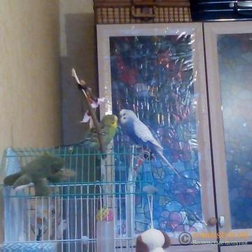 Какого окраса ваши попугаи и какого у них получились птенцы? - 5af6ccdabedcc502ec199f65.jpg
