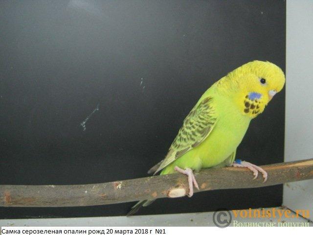 Волнистые попугаи выставочного типа молодежь Москва - IMG_1363.JPG