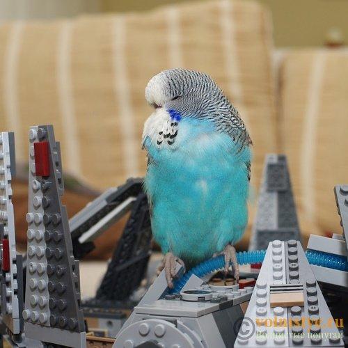 Имена для волнистых попугаев. - IMGP9738_1.jpg