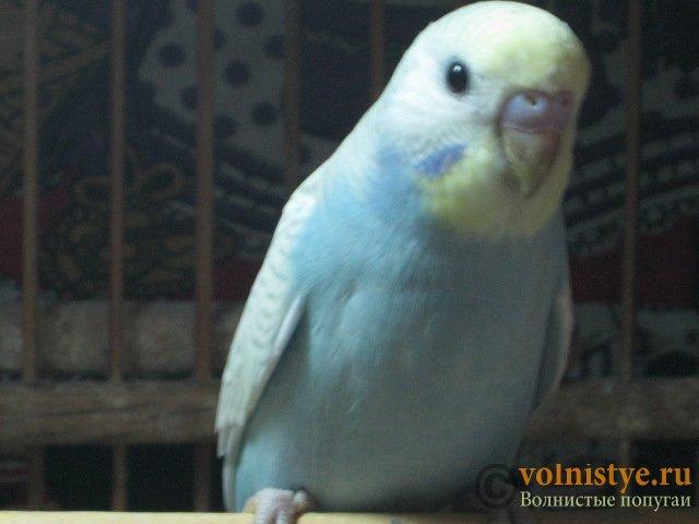 Волнистые молоденькие попугайчики для разговора - IMG_1521.JPG