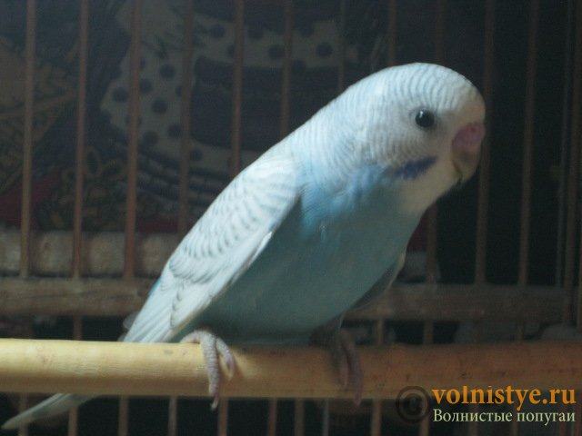 Волнистые молоденькие попугайчики для разговора - IMG_1527.JPG