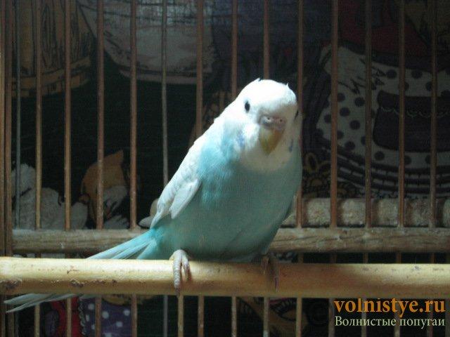 Волнистые молоденькие попугайчики для разговора - IMG_1533.JPG