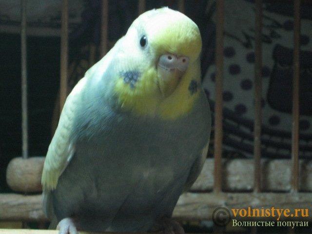 Волнистые молоденькие попугайчики для разговора - IMG_1547.JPG