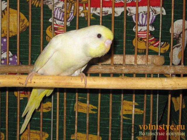 Волнистые молоденькие попугайчики для разговора - IMG_1590.JPG