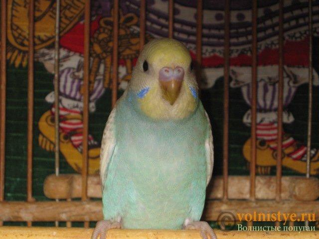 Волнистые молоденькие попугайчики для разговора - IMG_1596.JPG
