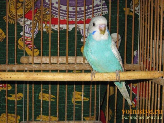 Волнистые молоденькие попугайчики для разговора - IMG_1600.JPG