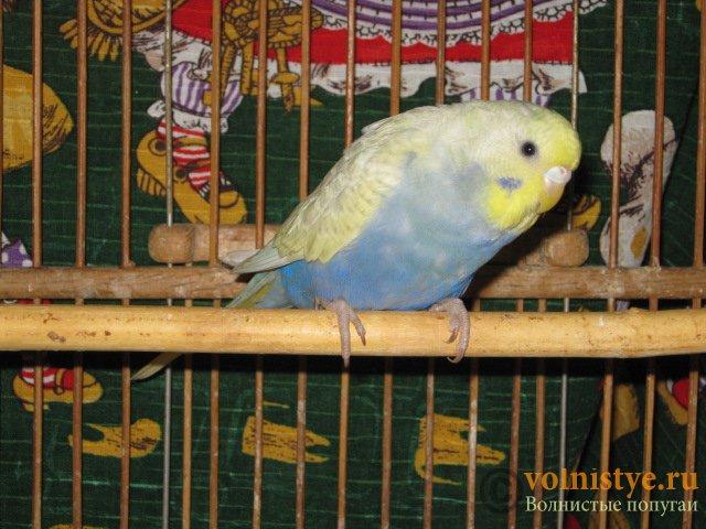 Волнистые молоденькие попугайчики для разговора - IMG_1606.JPG