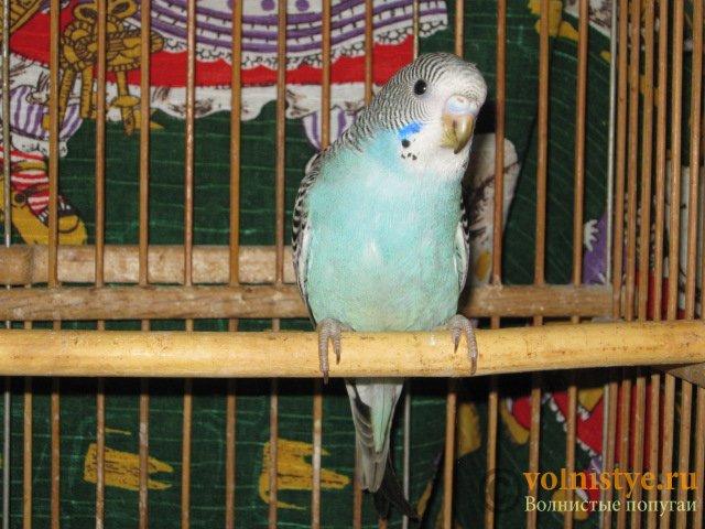 Волнистые молоденькие попугайчики для разговора - IMG_1612.JPG
