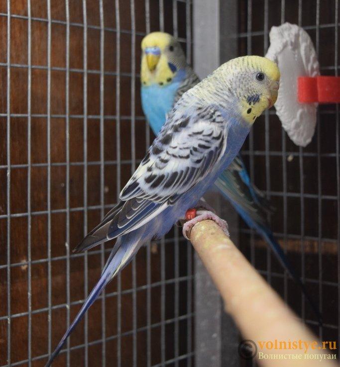 Продаю птенцов волнистого попугая (от Джека и Эльзы) - DSC_6565.JPG