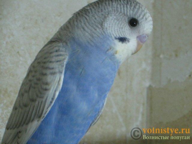 Волнистые молоденькие попугайчики для разговора - IMG_1723.JPG