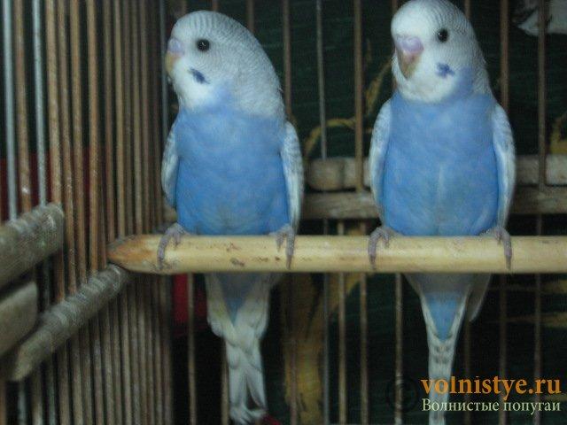 Волнистые молоденькие попугайчики для разговора - IMG_1741.JPG