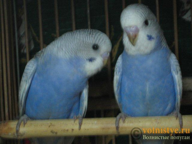 Волнистые молоденькие попугайчики для разговора - IMG_1742.JPG
