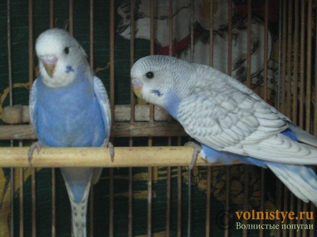 Волнистые молоденькие попугайчики для разговора - IMG_1736.JPG