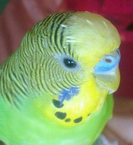 Волнистый попугай перья на голове