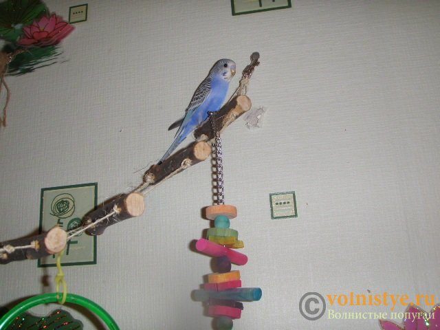 Волнистые попугаи(малыши)Мытищи-Медведково - P7083469.jpg