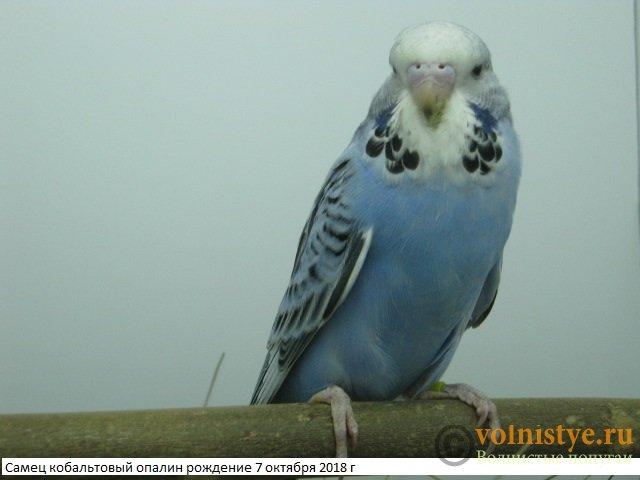 Волнистые попугаи выставочного типа молодежь Москва - IMG_1780.JPG