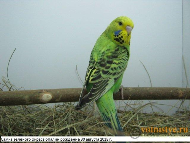 Волнистые попугаи выставочного типа молодежь Москва - IMG_1758.JPG