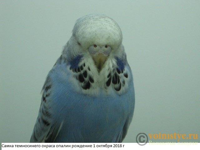 Волнистые попугаи выставочного типа молодежь Москва - IMG_1767.JPG
