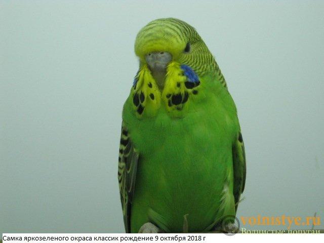 Волнистые попугаи выставочного типа молодежь Москва - IMG_1799.JPG