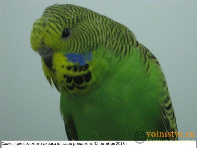 Волнистые попугаи выставочного типа молодежь Москва - IMG_1820.JPG