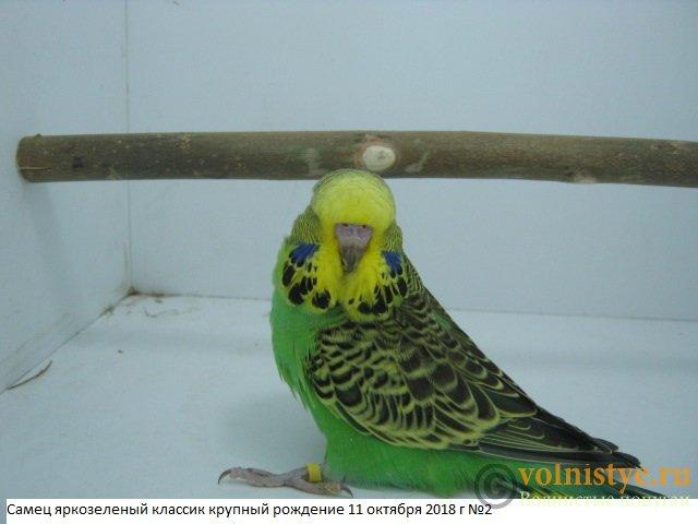 Волнистые попугаи выставочного типа молодежь Москва - IMG_1841.JPG