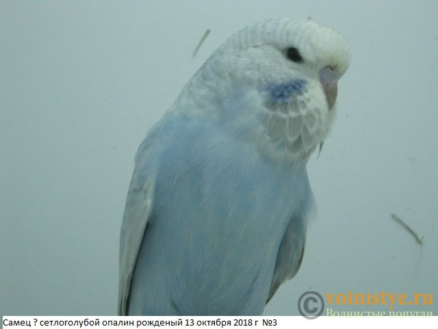 Волнистые попугаи выставочного типа молодежь Москва - IMG_1845.JPG