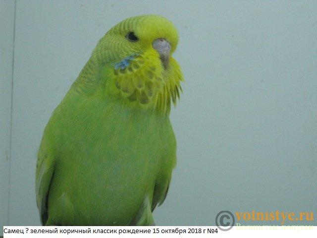Волнистые попугаи выставочного типа молодежь Москва - IMG_1866.JPG